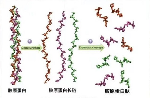 胶原蛋白的功效与作用 与胶原蛋白肽的区别 3分钟讲清楚